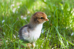 κοτόπουλο λίγα Στοκ εικόνες με δικαίωμα ελεύθερης χρήσης