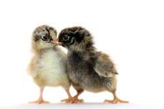 κοτόπουλο λίγα Στοκ εικόνα με δικαίωμα ελεύθερης χρήσης