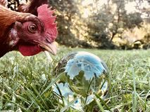 Κοτόπουλο με ένα Lensball στοκ φωτογραφία με δικαίωμα ελεύθερης χρήσης