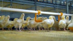 Κοτόπουλο μωρών στα πουλερικά Αγρόκτημα κοτόπουλου στο εσωτερικό απόθεμα βίντεο