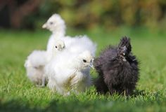 Κοτόπουλο μωρών στην πράσινη χλόη στοκ φωτογραφία με δικαίωμα ελεύθερης χρήσης