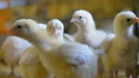 Κοτόπουλο μωρών στο αγρόκτημα κοτόπουλου Πουλερικά στο εσωτερικό απόθεμα βίντεο