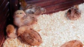 Κοτόπουλο μωρών στο γεωργικό φάρμα πουλερικών Επαφή zo φιλμ μικρού μήκους