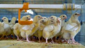 Κοτόπουλο μωρών στο κλουβί πουλερικών Πουλερικά, αγροτικό εσωτερικό κοτόπουλου φιλμ μικρού μήκους
