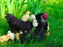 κοτόπουλο περίεργο Στοκ φωτογραφία με δικαίωμα ελεύθερης χρήσης