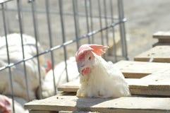 Κοτόπουλο που μαγειρεύεται για την πώληση στοκ εικόνες