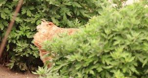 Κοτόπουλο που περπατά στον κήπο φιλμ μικρού μήκους
