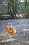 Κοτόπουλο που περπατά στο αγρόκτημα Στοκ Φωτογραφίες