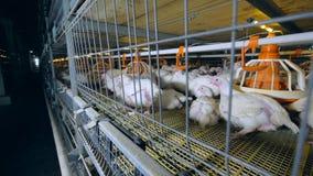 Κοτόπουλο που περπατά στο κλουβί πουλερικών Κινηματογράφηση σε πρώτο πλάνο απόθεμα βίντεο