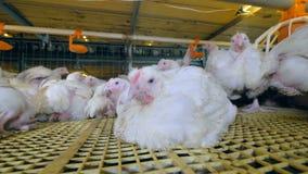 Κοτόπουλο σε πουλερικά έννοια ζωικού κεφαλαίου 4K φιλμ μικρού μήκους