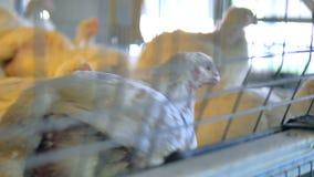 Κοτόπουλο στο κλουβί πουλερικών Κινηματογράφηση σε πρώτο πλάνο φιλμ μικρού μήκους