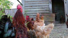 Κοτόπουλο στο κοτέτσι κοτόπουλου στο σε αργή κίνηση βίντεο απογεύματος απόθεμα βίντεο