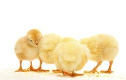 κοτόπουλο τέσσερα στοκ εικόνα