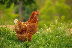 Κοτόπουλο 02 Στοκ εικόνες με δικαίωμα ελεύθερης χρήσης