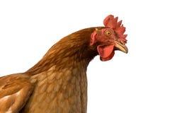 κοτόπουλο Στοκ Φωτογραφίες