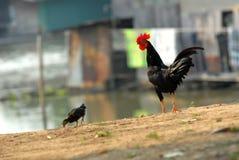 Κοτόπουλο. Στοκ Εικόνα