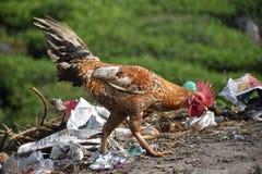 Κοτόπουλο Naati στοκ εικόνες με δικαίωμα ελεύθερης χρήσης