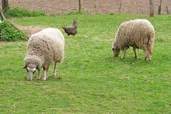 κοτόπουλο sheeps δύο Στοκ Φωτογραφίες