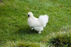 κοτόπουλο silkie Στοκ εικόνες με δικαίωμα ελεύθερης χρήσης