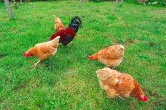 Κοτόπουλα και κόκκορας στη χλόη Στοκ Εικόνες