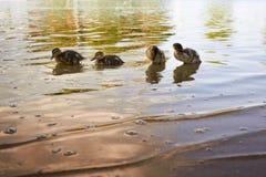 Κοτόπουλα παπιών με την πάπια στο νερό Στοκ Εικόνα
