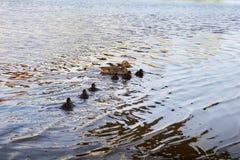 Κοτόπουλα παπιών με την πάπια στο νερό Στοκ φωτογραφία με δικαίωμα ελεύθερης χρήσης