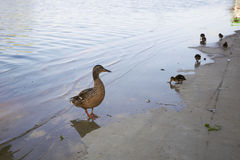 Κοτόπουλα παπιών με την πάπια στο νερό Στοκ Εικόνες