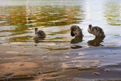 Κοτόπουλα παπιών με την πάπια στο νερό Στοκ Φωτογραφία