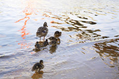 Κοτόπουλα παπιών με την πάπια στο νερό Στοκ Φωτογραφίες