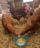 Κοτόπουλα που ταΐζουν τα φάρμακα και το καλαμπόκι Στοκ φωτογραφία με δικαίωμα ελεύθερης χρήσης