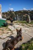 Κοτόπουλα προσοχής αγροτικών σκυλιών Στοκ εικόνα με δικαίωμα ελεύθερης χρήσης
