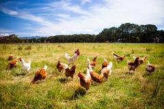 Κοτόπουλα σε έναν τομέα Στοκ Φωτογραφία