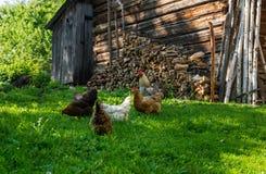 Κοτόπουλα σε ένα ναυπηγείο πουλερικών Στοκ Φωτογραφία