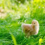 Κοτόπουλα σε μια χλόη Στοκ Φωτογραφίες