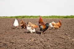 Κοτόπουλα στον κήπο κουζινών Στοκ Φωτογραφίες