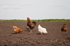 Κοτόπουλα στον κήπο κουζινών Στοκ Εικόνες