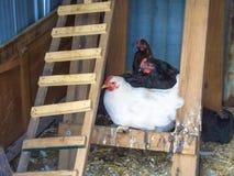 Κοτόπουλα στο κοτέτσι Στοκ εικόνα με δικαίωμα ελεύθερης χρήσης