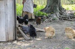 Κοτόπουλα στο μουσείο ιστορίας διαβίωσης κολπίσκου κοπαδιών Στοκ Φωτογραφίες