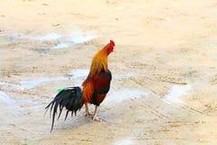 Κοτόπουλα στο χρόνο σίτισης Στοκ Φωτογραφία
