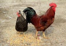 κοτόπουλα δύο Στοκ φωτογραφία με δικαίωμα ελεύθερης χρήσης