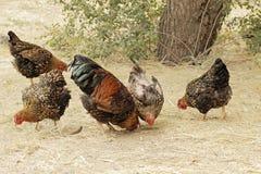 κοτόπουλα Στοκ εικόνα με δικαίωμα ελεύθερης χρήσης