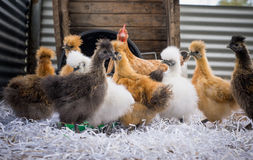 Κοτόπουλα Silkie Στοκ φωτογραφίες με δικαίωμα ελεύθερης χρήσης