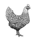 Κοτόπουλο ή κότα που σύρεται στο εκλεκτής ποιότητας ύφος χάραξης ή χαρακτικής Πουλί αγροτικών πουλερικών που απομονώνεται στο άσπ απεικόνιση αποθεμάτων