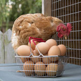 Κοτόπουλο και καλάθι των αυγών Στοκ Εικόνες