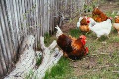 Κοτόπουλο και κόκκορας που περπατούν στη χλόη Στοκ εικόνες με δικαίωμα ελεύθερης χρήσης