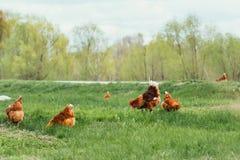Κοτόπουλο και κόκκορας που περπατούν στη χλόη Στοκ Εικόνα