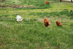 Κοτόπουλο και κόκκορας που περπατούν στη χλόη Στοκ εικόνα με δικαίωμα ελεύθερης χρήσης
