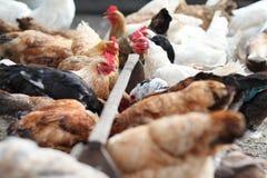 Κοτόπουλο και κόκκορας στο αγρόκτημα Αγροτικό θέμα Στοκ Φωτογραφία