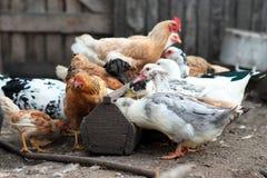 Κοτόπουλο και κόκκορας στο αγρόκτημα Αγροτικό θέμα Στοκ Εικόνες
