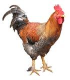Κοτόπουλο κοκκόρων που απομονώνεται στο άσπρο υπόβαθρο Στοκ εικόνα με δικαίωμα ελεύθερης χρήσης
